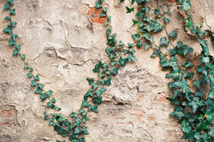 Old castle wall with ivy leaves. Old castle wall with green ivy leaves royalty free stock images