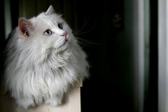 Old cat 10 years old ... The old cat was looking its companions play Royalty Free Stock Photo