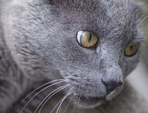 Old cat. Of breed Russian blue stock photo
