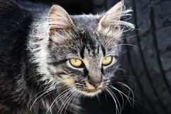 Old cat   close up, Royalty Free Stock Image