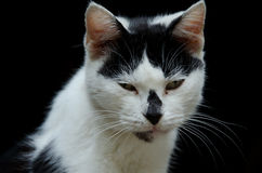 Old cat. Close-up of an old black and white cat, against dark background Stock Images