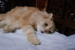 Old cat is looking something before he going to sleep in the midnight. Old cat is look something before he going to sleep in the midnight Stock Image