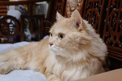 Old cat is looking something before he going to sleep in the midnight. Old cat is look something before he going to sleep in the midnight Stock Photography