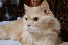 Old cat is looking something before he going to sleep in the midnight. Old cat is look something before he going to sleep in the midnight Royalty Free Stock Photos