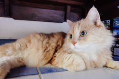 Old cat is looking something before he going to sleep in the evening. Old and orange cat is looking something before he going to sleep in the evening royalty free stock photography