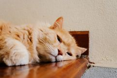 Old cat is looking something before he going to sleep in the evening. Old and orange cat is looking something before he going to sleep in the evening royalty free stock photos