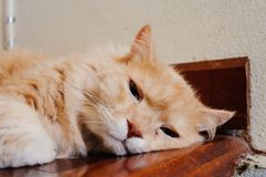 Old cat is looking something before he going to sleep in the evening. Old and orange cat is looking something before he going to sleep in the evening stock image