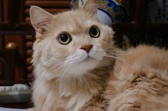 Old cat is looking something before he going to sleep in the midnight. Old cat is look something before he going to sleep in the midnight Stock Images