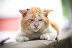 Old cat. Old male cat with a big face on concrete wall / Big old tomcat Royalty Free Stock Photography