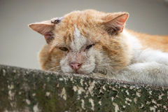 Old cat. Old male cat with a big face on concrete wall / Big old tomcat. Local Tomcat Stock Photos