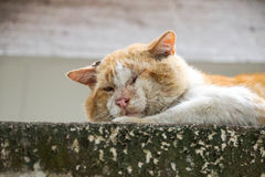 Old cat. Old male cat with a big face on concrete wall / Big old tomcat. Local Tomcat Stock Photography