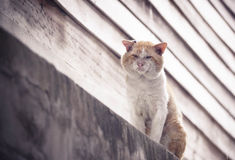 Old cat. Old male cat with a big face on concrete wall / Big old tomcat. Local Tomcat Stock Photo