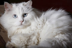 Old cat's portrait Royalty Free Stock Images