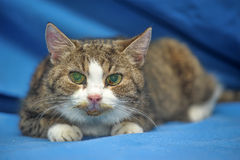 An old cat Royalty Free Stock Photos