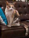 Old Cat Sitting on Leather Couch Royalty Free Stock Photography