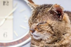 The old cat sleeping near the clock. Morning - it`s time to wake. Up. The clock counts time - old age comes Stock Photography
