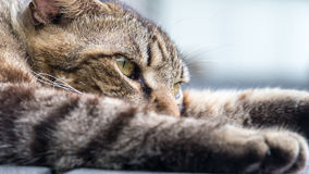Old cat sleeping on a wooden floor with blur background Royalty Free Stock Images