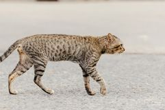 Old cat is walking to find water to drink in the morning. Old cat is walking to find water to drink in the summer morning stock image