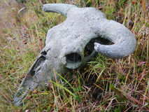 Old Cattle Skull stock images