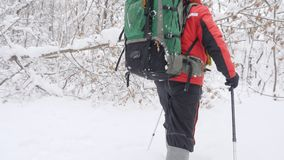 Old caucasian man makes his way with Hiking Sticks through thickets in a dense snowy forest. Thick dense thicket of. Trees and roots in in the snow-covered stock video