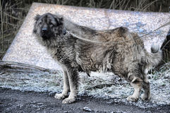 Old Caucasian Shepherd Dog. Caucasian Shepherd Dog, blurred background royalty free stock image