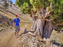 Old Cedar at foothill of Mount Tahtali, Turkey Stock Photo