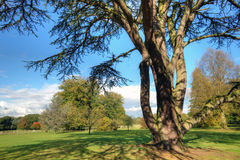 Old cedar tree Royalty Free Stock Image