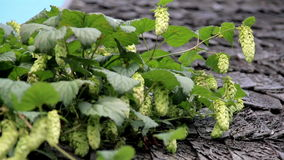 Old cedar wooden shake shingle roof of the hop Humulus in the old log house cabin barn butterfly stock video footage
