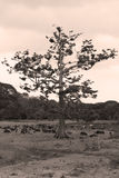 Old ceiba Royalty Free Stock Images