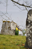Gravestone with daffodils Stock Images
