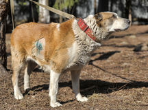 Old Central Asian Shepherd Dog Stock Photo
