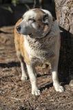 Old Central Asian Shepherd Dog Stock Photos