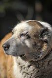 Old Central Asian Shepherd Dog Stock Photo