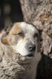 Old Central Asian Shepherd Dog Royalty Free Stock Photos