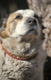 Old Central Asian Shepherd Dog Royalty Free Stock Photo