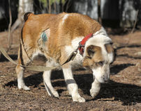 Old Central Asian Shepherd Dog Royalty Free Stock Image