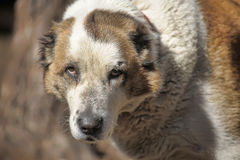 Old Central Asian Shepherd Dog Royalty Free Stock Photography