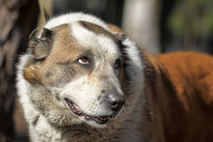Old Central Asian Shepherd Dog Stock Images