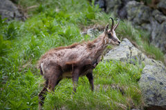 Old chamois - Rupicapra rupicapra in grass. High Tatras. Royalty Free Stock Images