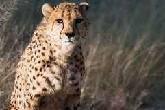 Old Cheetah. In the private reserve Okonjima in Namibia Stock Photos