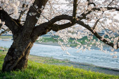 Old cherry tree by a river. In kakunodate, Japan Stock Photos