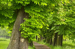 The old chestnut alley Stock Photo