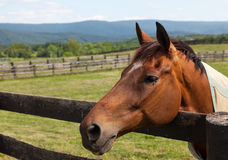 Old chestnut horse in rural meadow on fence Stock Photography