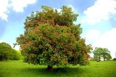 Old chestnut tree. Blossuming pink chestnnut tree against blue sky Stock Photo