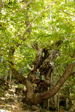 Old chestnut tree Royalty Free Stock Image