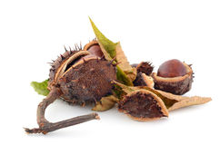Old chestnuts Stock Photo