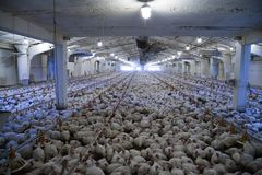 Chicken farm. Old chicken factory with poor lighting. photo inside building with lots of broiler bird Stock Photo