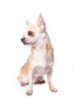 Old Chihuahua. Isolate old chihuahua on white background Stock Photo