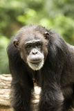 Old Chimp Royalty Free Stock Photo