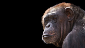 Old chimp Royalty Free Stock Photos